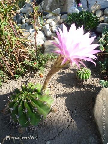 Вот такой кактус уже много лет растет в моем саду и не просто растет ,а зимует при любых минусах.К сожалению я не знаю названий своим кактусам-это,я думаю,какая-то разновидность оппунции. фото 4
