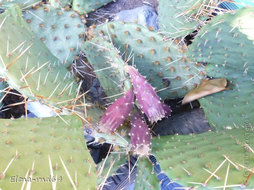 Вот такой кактус уже много лет растет в моем саду и не просто растет ,а зимует при любых минусах.К сожалению я не знаю названий своим кактусам-это,я думаю,какая-то разновидность оппунции. фото 3