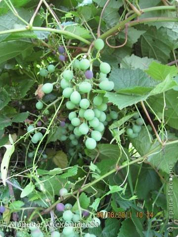 наш синий виноград....гроздь... фото 19