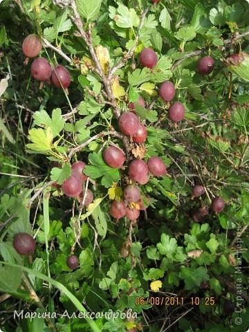 наш синий виноград....гроздь... фото 17