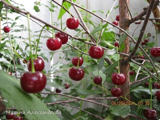наш синий виноград....гроздь... фото 18