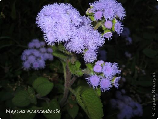 наш синий виноград....гроздь... фото 9