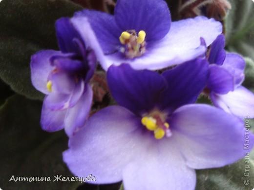 Предлагаю полюбоваться цветением моих фиалочек. Вот такая она красавица в полном цветении. фото 23