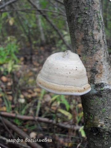 Дорогие мои,если есть у вас такая возможность,идите в лес Там такая красота.А грибов видимо невидимо.Мухоморы,конечно же , не съедобные ,но они такие красавцы.Нельзя пройти мимо них. фото 12