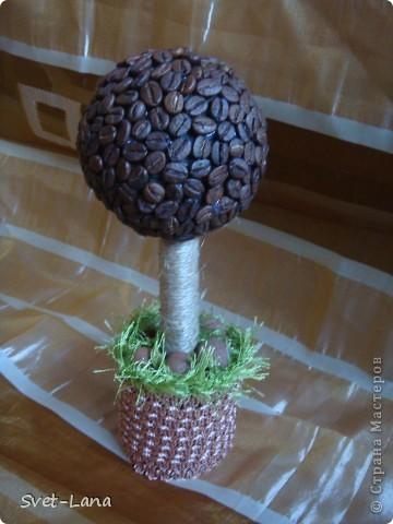 первое кофейное деревце