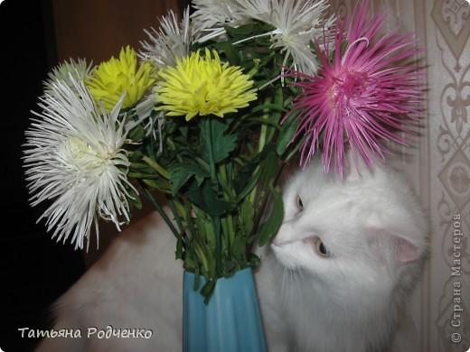 ... Мои хризантемы прошли во второй тур конкурса))) Забрала их на один день, а на следующий,- опять в путь! фото 12