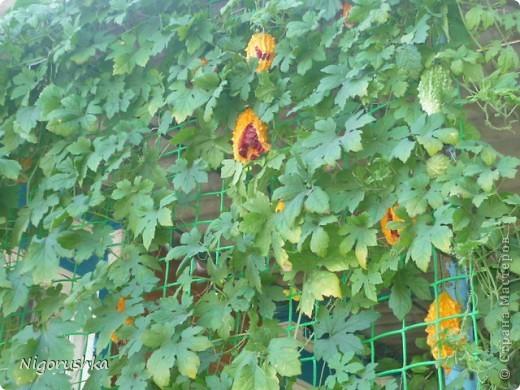 В прошлом году меня угостили интересным то ли фруктом, то ли овощем. Семена собрала и весной высадила. Вот такая лиана теперь растет во дворе. В интернете нашла несколько статей про мормордику.  Momordica charantia - растение, найденное в Китае, где оно известно под названием китайская горькая дыня. Она использовалась в традиционной китайской медицине как стимулятор аппетита, лекарство при желудочно-кишечной инфекции и для снижения уровня сахара в крови у диабетиков. Недавно она также начала использоваться при лечении некоторых типов рака и вирусных инфекций.  фото 1