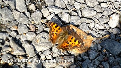 По дороге к церкви увидела бабочку. А т.к. мой дружок - фотик со мной, решила ее сфоткать. Да еще осенью...  Приятного просмотра! фото 1