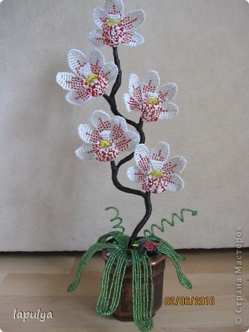 Орхидея Бисер фото 2.