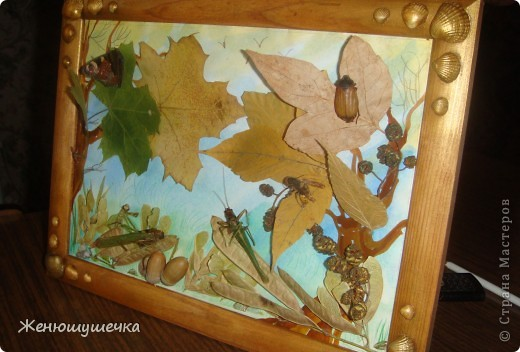 наглядное пособие к докладу...Засушеные майский жук, шершень, богомол, 2 саранчи, бабочка-павлиний глаз. фото 2