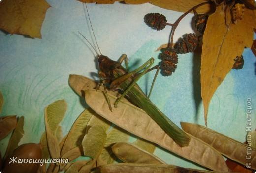 наглядное пособие к докладу...Засушеные майский жук, шершень, богомол, 2 саранчи, бабочка-павлиний глаз. фото 3