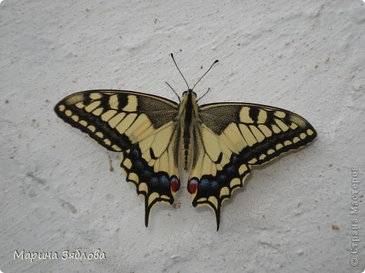 В этом году к нам во двор прилетали вот такие прекрасные бабочки .Очень порадовали нас своей красотой ! фото 1