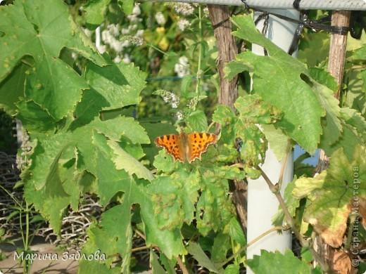 В этом году к нам во двор прилетали вот такие прекрасные бабочки .Очень порадовали нас своей красотой ! фото 2