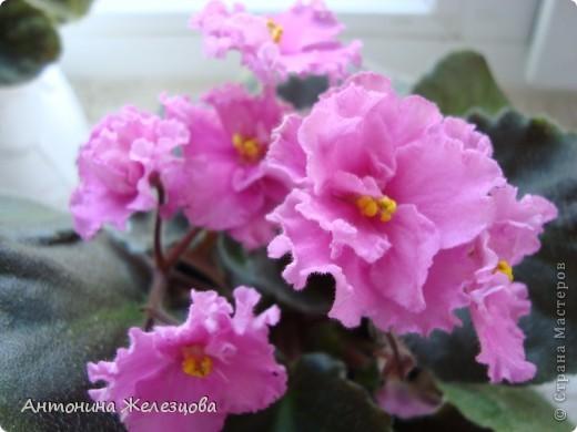 Предлагаю полюбоваться цветением моих фиалочек. Вот такая она красавица в полном цветении. фото 12