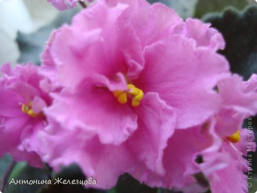 Предлагаю полюбоваться цветением моих фиалочек. Вот такая она красавица в полном цветении. фото 13