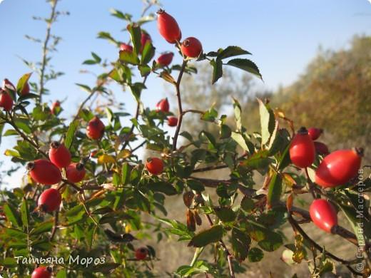 Люблю собирать шиповник. А осень у нас сейчас - просто сказочная!!!!! Тепло и буйство осенних красок.... фото 14
