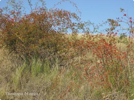 Люблю собирать шиповник. А осень у нас сейчас - просто сказочная!!!!! Тепло и буйство осенних красок.... фото 18
