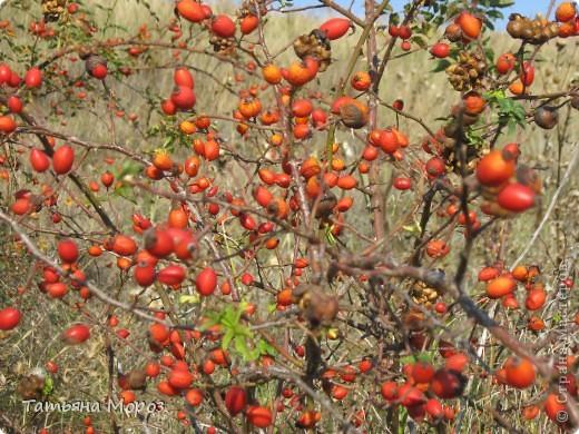 Люблю собирать шиповник. А осень у нас сейчас - просто сказочная!!!!! Тепло и буйство осенних красок.... фото 19
