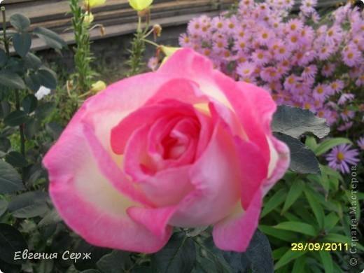 розовая нежность цветет до сих пор фото 7
