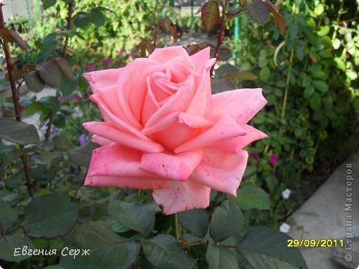розовая нежность цветет до сих пор фото 4