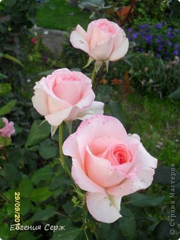 розовая нежность цветет до сих пор фото 1