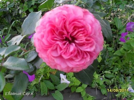 розовая нежность цветет до сих пор фото 5