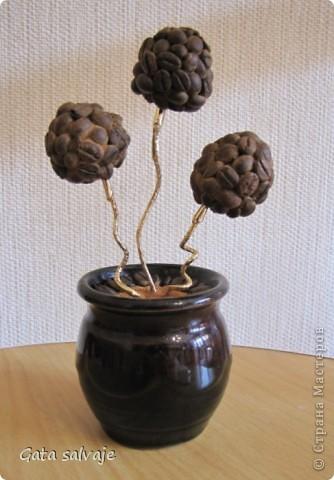 Небольшой кофейный куст в керамическом горшочке.  фото 1
