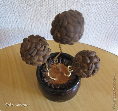 Небольшой кофейный куст в керамическом горшочке.  фото 2