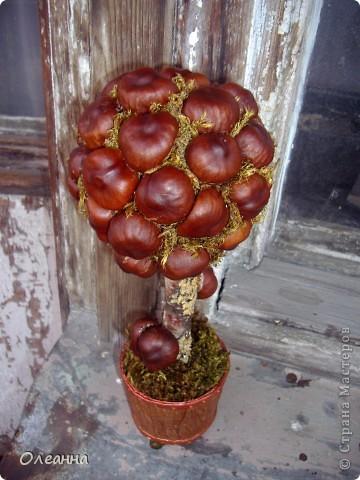 Наконец то в этом году удалось насобирать каштанов. Уже давно зрел план сделать каштановое дерево. И, вот....  фото 2