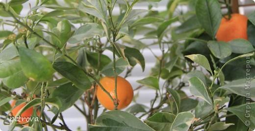 Спрашивают - какие на вкус мандарины, выращенные на балконе. Если посмотрите этот репортаж до конца - увидите.   Вот они какие красивые ...   фото 2