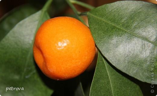 Спрашивают - какие на вкус мандарины, выращенные на балконе. Если посмотрите этот репортаж до конца - увидите.   Вот они какие красивые ...   фото 3