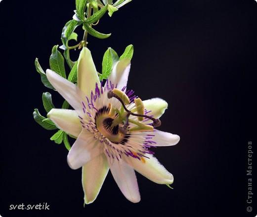 Увидела этот замечательный цветок - сделала,а потом родилась картина.Насколько удалась судить вам. фото 5