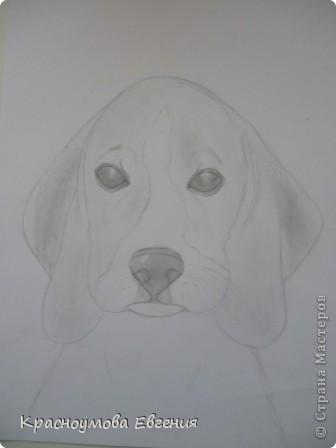 Здравствуйте! Я собираюсь показать вам, как я рисую бигля! Берите карандаш, бумагу и резинку! Приступим... фото 25