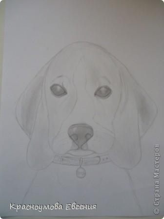 Здравствуйте! Я собираюсь показать вам, как я рисую бигля! Берите карандаш, бумагу и резинку! Приступим... фото 1