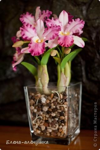 """Орхидея """"Каттлея"""" фото 1"""