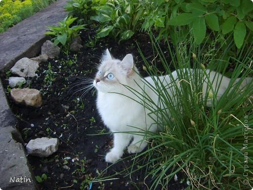 Сегодня - Международный день КОШЕК! Поздравляю всех кошатников и их питомцев!  И предлагаю Вам фоторепортаж о нашей красавице Алисе. И не только... фото 2