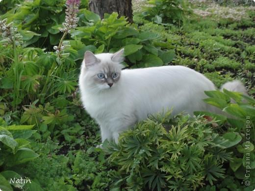 Сегодня - Международный день КОШЕК! Поздравляю всех кошатников и их питомцев!  И предлагаю Вам фоторепортаж о нашей красавице Алисе. И не только... фото 1