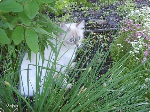 Сегодня - Международный день КОШЕК! Поздравляю всех кошатников и их питомцев!  И предлагаю Вам фоторепортаж о нашей красавице Алисе. И не только... фото 4