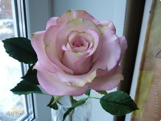 Вот та роза, в которую влюбился бедный тюльпан..... фото 2