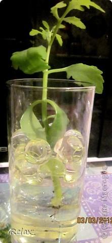плохо видно шарики но как могла фотографировала...экспериментирую..сможет ли расти в гидрогеле растение пока не приобрела красивую вазу в стакан насыпала фото 2