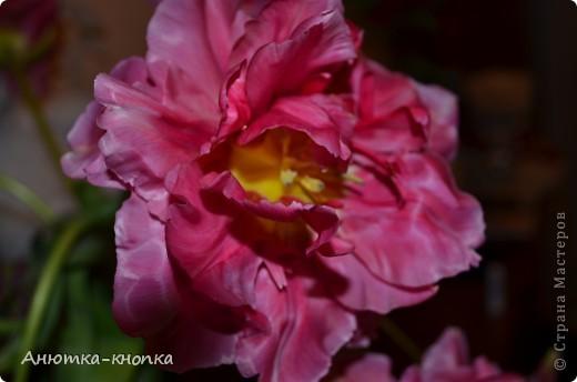 мои любимые тюльпаны фото 1