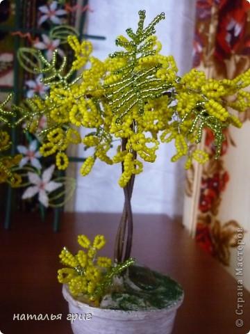 деревце мимозы. фото 2