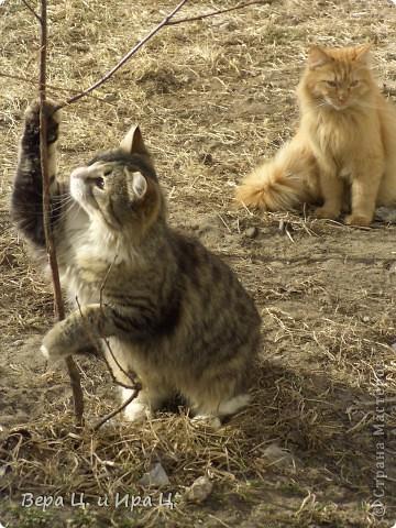 """Наконец-то все почувствовали приближение весны! Солнце печёт, ручьи журчат, птицы щебечут, люди и коты вышли на улицу. Вот что мы увидели во дворе. """"Голосую за ВЕСНУ даже задней лапой!""""  фото 3"""