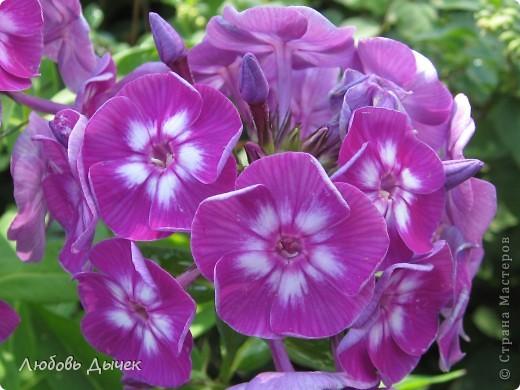 За окном вьюга.Зима не хочет уступать свои позиции.А я приглашаю вас в мой цветочный рай, чтобы вы могли насладиться красотой яркого летнего сада. фото 9