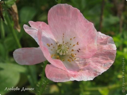 За окном вьюга.Зима не хочет уступать свои позиции.А я приглашаю вас в мой цветочный рай, чтобы вы могли насладиться красотой яркого летнего сада. фото 22