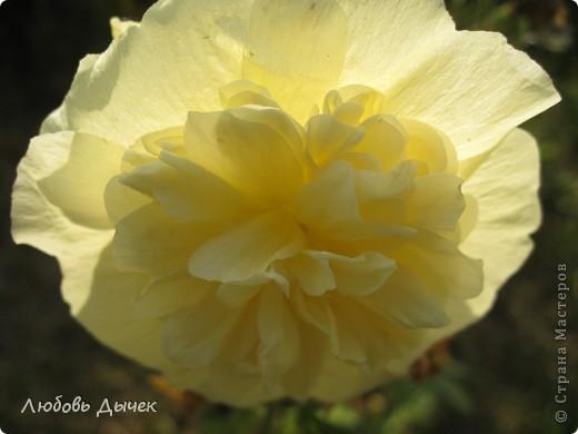 За окном вьюга.Зима не хочет уступать свои позиции.А я приглашаю вас в мой цветочный рай, чтобы вы могли насладиться красотой яркого летнего сада. фото 20