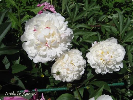За окном вьюга.Зима не хочет уступать свои позиции.А я приглашаю вас в мой цветочный рай, чтобы вы могли насладиться красотой яркого летнего сада. фото 2