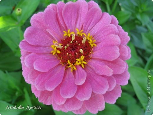 За окном вьюга.Зима не хочет уступать свои позиции.А я приглашаю вас в мой цветочный рай, чтобы вы могли насладиться красотой яркого летнего сада. фото 28