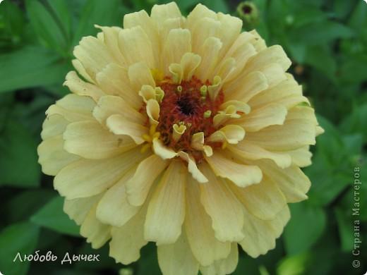 За окном вьюга.Зима не хочет уступать свои позиции.А я приглашаю вас в мой цветочный рай, чтобы вы могли насладиться красотой яркого летнего сада. фото 30