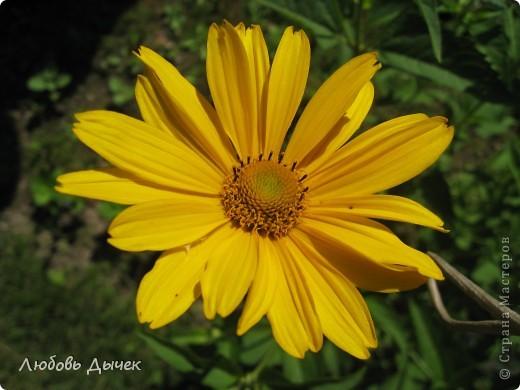 За окном вьюга.Зима не хочет уступать свои позиции.А я приглашаю вас в мой цветочный рай, чтобы вы могли насладиться красотой яркого летнего сада. фото 33